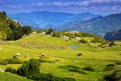 Взгляд луга гористой местности с коровами Стоковое фото RF