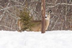 Взгляд украдкой олень шиканья Стоковая Фотография RF
