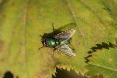 Взгляд усаживания мухы Стоковое фото RF