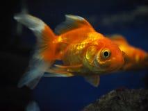 Взгляд утеса золотых желтых рыб sweaming отсутствующий близко от стороны Стоковые Изображения