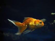 Взгляд утесов золотых желтых рыб подводный sweaming отсутствующий близко от Стоковые Изображения