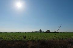 Взгляд фермы кассавы стоковая фотография rf