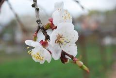 Взгляд хворостин абрикоса с цветками весной Стоковое Фото