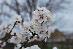 Взгляд хворостин абрикоса с цветками весной Стоковые Изображения RF