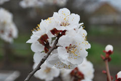 Взгляд хворостин абрикоса с цветками весной Стоковое Изображение