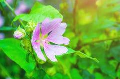 Взгляд цветения крупного плана цветка thuringiaca Lavatera поле глубины отмелое Стоковые Фотографии RF