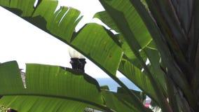 Взгляд через листья банана видеоматериал