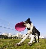 Игрушка Frisby собаки Коллиы границы заразительная на парке Стоковое Изображение