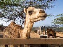 Взгляды вокруг святилища Phillips животного - верблюда стоковые изображения rf