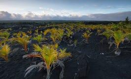 Взгляды заводов в вулканическом песке field для захода солнца Стоковая Фотография