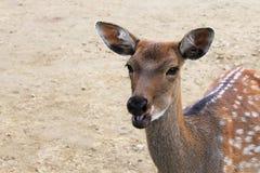 Взгляды конца-вверх оленей на камере жуют еду Стоковые Фото