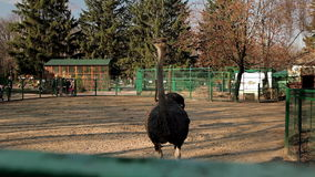 Взгляды страуса видеоматериал