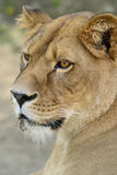 Взгляд льва Стоковое Изображение RF
