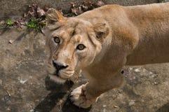 Взгляд льва Стоковые Фото