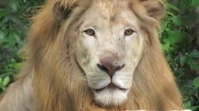 Взгляд льва стоковая фотография rf
