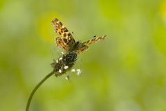Взгляд frontal бабочки карты Стоковая Фотография