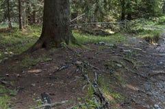 Взгляд glade, травы и части хобота живущий организм в средней части на горе Rila к Maliovitza выступает стоковые изображения