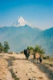 Взгляд Machapuchare на треке базового лагеря Annapurna, Непал Стоковые Изображения