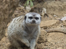 Взгляд Meerkat Стоковая Фотография RF