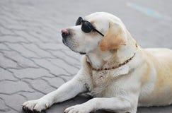 взгляд retriever задего щенка labrador собаки предпосылки серый Стоковая Фотография RF