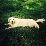 взгляд retriever задего щенка labrador собаки предпосылки серый Стоковое фото RF