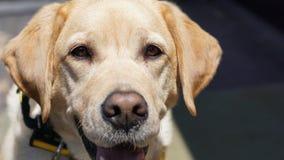 взгляд retriever задего щенка labrador собаки предпосылки серый стоковые фото