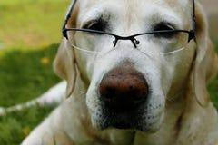 взгляд retriever задего щенка labrador собаки предпосылки серый Стоковые Изображения RF