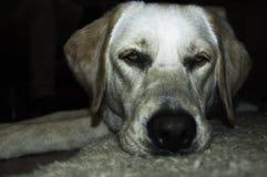 взгляд retriever задего щенка labrador собаки предпосылки серый Стоковые Изображения