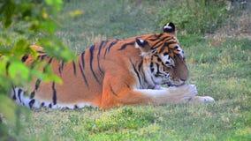 Взгляд Sneek тигра в одичалом через кусты Layin на траве и ослаблять после охоты лижа свои ноги сток-видео