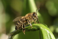 взлет mellifera honeybee apis Стоковые Изображения