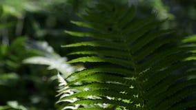 Взмах листьев папоротника в ветре акции видеоматериалы
