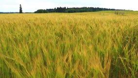 Взмах травы луга с боку на бок в порывах ветра свежего ветерка, ярких зеленых цветах играя под солнцем акции видеоматериалы