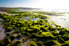 взморье водорослей Стоковое Фото