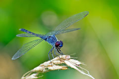 Взморье Dragonlet Dragonfly Стоковые Фотографии RF
