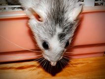 Взрослая женская крыса Dumbo стоковая фотография rf