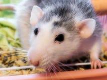 Взрослая женская крыса 1 Dumbo стоковая фотография rf