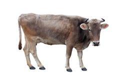 Взрослая коричневая корова на белой предпосылке Стоковое фото RF