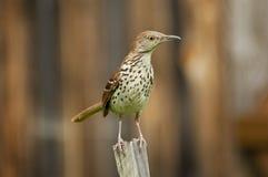 взрослая молочница коль усаживания птицы деревянная Стоковая Фотография RF