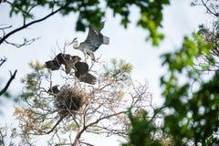 Взрослая серая цапля в гнезде с молодыми цаплями на питаться стоковые изображения rf