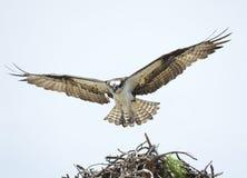 Взрослая скопа с крылами распространила земли на ем гнездо ` s Стоковое Фото
