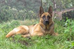 Взрослая собака немецкой овчарки Стоковое фото RF