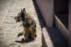 Взрослая собака получившаяся отказ на улице стоковые изображения rf
