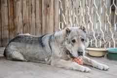 Взрослая центральная азиатская собака чабана лежа с шариком стоковое изображение