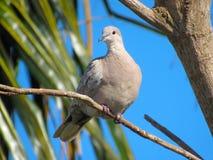 Взрослое серое Tobacc нырнуло птица льнуть к узкой хворостине Стоковая Фотография