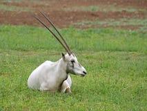 взрослые аравийские рожочки огромные с показа oryx стоковая фотография rf