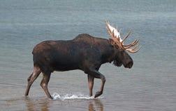 Взрослые лоси Shiras Bull идя около берега озера Fishercap в много зона ледника национального парка ледника в Монтане США Стоковые Изображения RF
