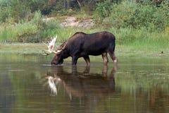 Взрослые лоси Shiras Bull подавая на воде засевают около берега озера Fishercap в много ледник травой национального парка США лед Стоковое Изображение RF