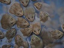 Взрослые лягушки в ферме pond для разводить и надувательства в Таиланде Стоковые Фотографии RF