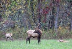 Взрослые самец оленя и детеныш лося делают стоковые изображения rf