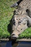 взрослый австралийский крокодил Стоковая Фотография